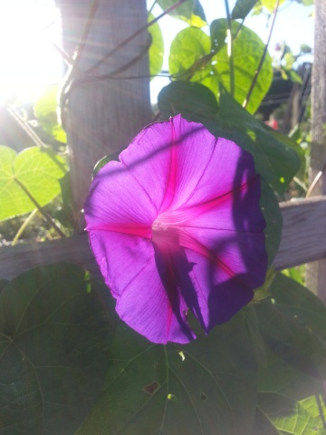 Grandpa Ott morning glories growing on the trellis right off the patio out back.