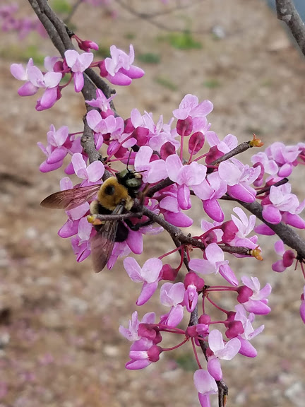 red bud and bees